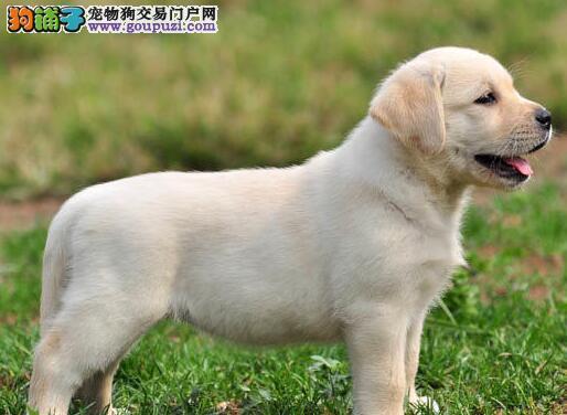 保证品质和售后的大庆拉布拉多犬出售中 可见狗父母