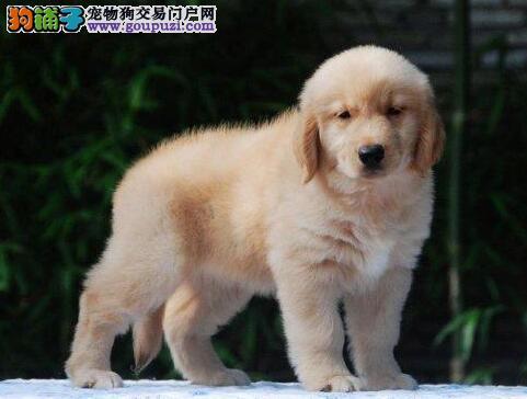 极品纯种大骨架金毛犬特价转让中 上海正规狗场繁殖