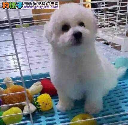 狗场出售极品纯卷毛比熊幼犬,可当面用试纸测试
