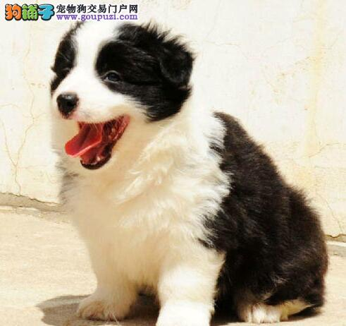 长沙本地出售高品质边境牧羊犬宝宝微信咨询看狗狗照片