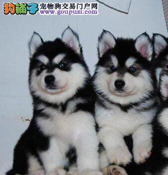 直销健康阿拉斯加雪橇犬上海地区可上门多只可供挑选