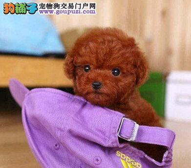 出售白贵宾犬 保障售后服务 保证身体健康 三包承诺