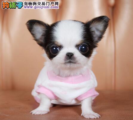 极品苹果头杭州吉娃娃犬舍热销 可视频可送货可刷卡