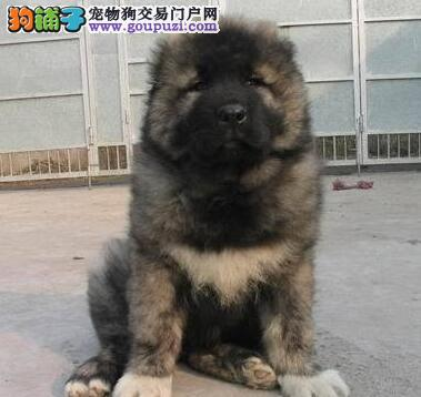 繁育基地转让深圳高加索犬证书齐全售后完善