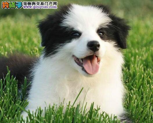 天津精品高品质边境牧羊犬幼犬热卖中期待您的来电咨询