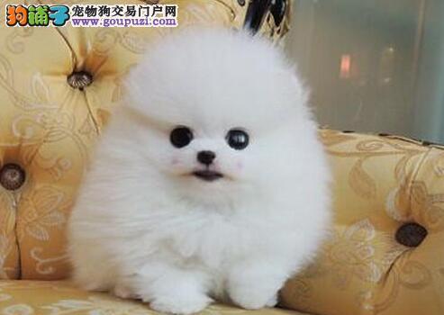 温州正规狗场直销哈多利博美犬 可随时上门选购爱犬