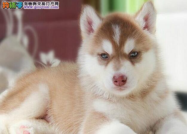 信诺犬业宠物狗繁殖基地出售哈士奇信诺犬业