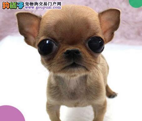 出售吉娃娃幼犬,CKU认证保健康,签署合同质保