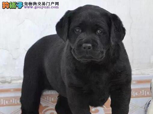 大骨架大头版品相的温州拉布拉多犬找新家 非诚勿扰