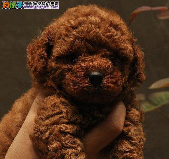赛级贵宾犬幼犬 假一赔十品质第一 质保全国送货