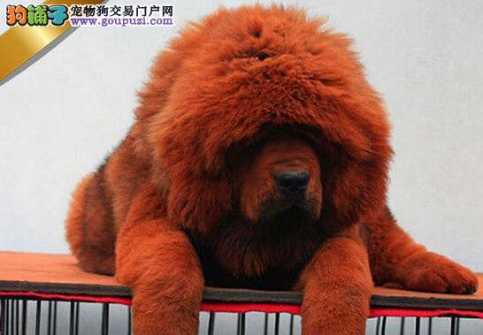 温州实体獒园出售狮子头品相的藏獒幼崽 狗贩子勿扰