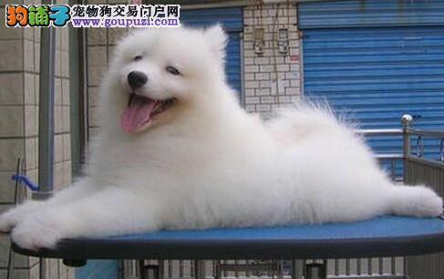 雪白色没有任何杂毛的温州萨摩耶幼犬 疫苗驱虫齐全