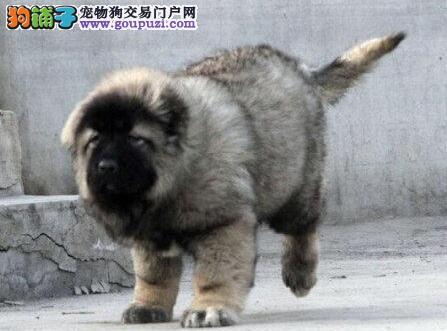 重庆直销高大威猛的高加索幼犬 <公母都有>可上门选购