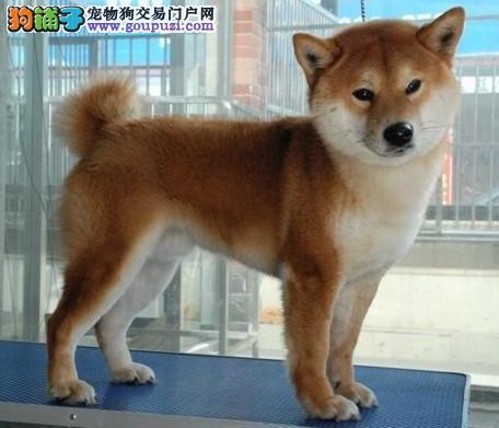 低价出售极品日系秋田犬 可来大庆购买挑选赠送狗笼子