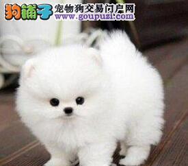 出售纯种哈多利版博美犬 大庆地区最低价有质量保证