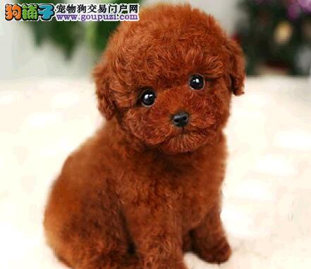 精品纯种泰迪犬出售质量三包爱狗人士优先狗贩勿扰