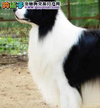 顶级优秀的纯种边境牧羊犬热卖中国际血统证书