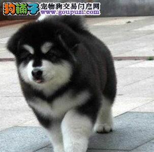 西宁知名犬业出售十字脸阿拉斯加犬 建议大家上门选购