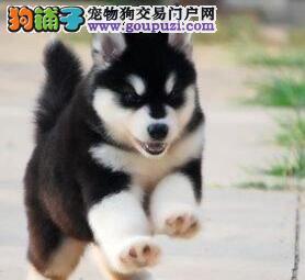 纯种阿拉斯加雪橇犬苏州犬舍直销 做齐三针疫苗和驱虫