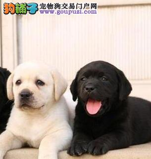 扬州家养一窝拉布拉多犬促销中保健康包纯种