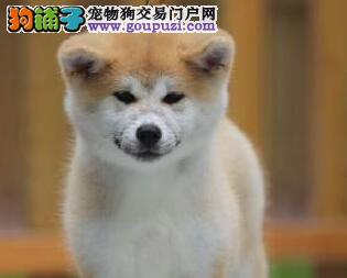 低价促销赛级品质秋田犬长春周边地区可上门看狗