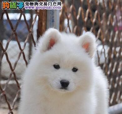 权威机构认证犬舍 专业培育萨摩耶幼犬可签订活体销售协议