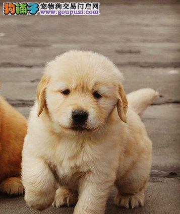 出售大骨架青岛金毛犬 性格优秀喜欢的可来犬舍购买