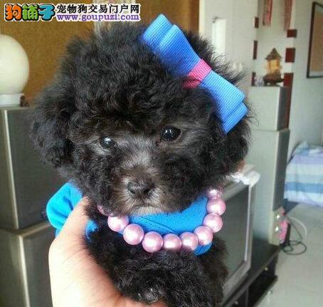 杭州出售纯种泰迪幼犬 纯种泰迪熊幼犬 价格优惠