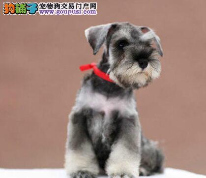 柳州繁殖基地直销椒盐色雪纳瑞幼犬 均有血统保障