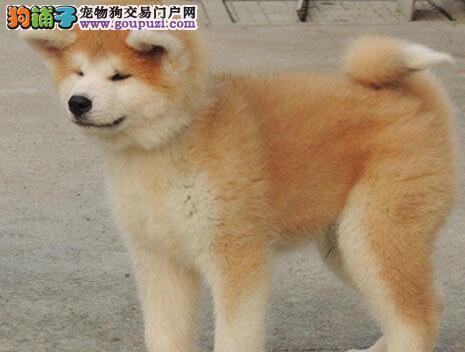 权威机构认证犬舍 专业培育秋田犬幼犬微信视频看狗