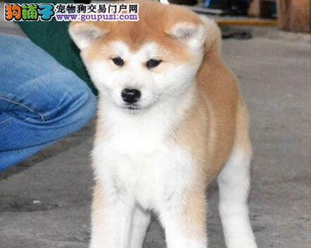 太原狗场出售品相好毛量浓密秋田犬 签署协议书