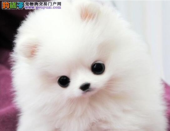 自家繁殖极品博美犬出售大庆市内购犬可送狗粮