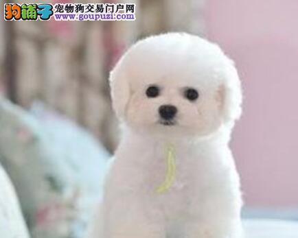 专业正规犬舍热卖优秀的天津比熊专业品质一流