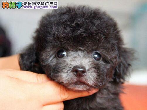 泉州实体狗场出售深红色的泰迪犬 公母均有多只可选择
