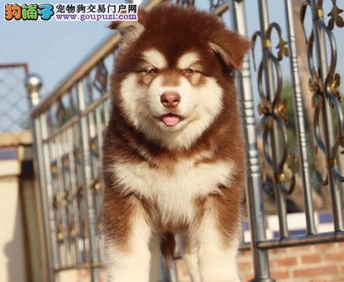 强力推荐郑州纯种阿拉斯加幼犬 史无前例的大优惠哦
