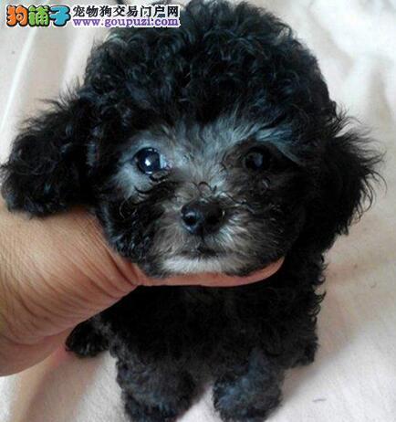 上海犬舍出售纯种贵宾犬品质有保证包售后