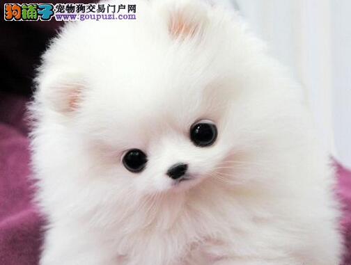 精品博美犬幼犬一对一视频服务买着放心购犬可签协议