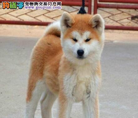 CKU犬舍认证出售纯种秋田犬签订协议包细小犬瘟热