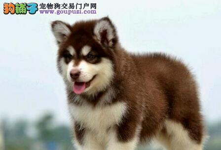 哈尔滨自家狗场热销阿拉斯加雪橇犬 可送货可签协议