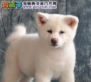CKU认证犬舍 专业出售极品 秋田犬幼犬价格美丽非诚勿扰