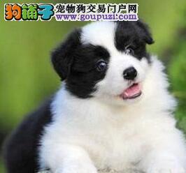 家养赛级品质边境牧羊犬转让江门周边地区购犬有优惠