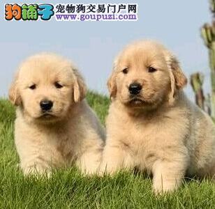 实体店热高品质金毛犬 江门地区购犬可送货到家