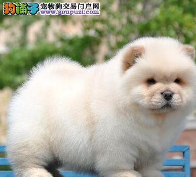 广州出售高品质健康纯种松狮犬憨厚可爱