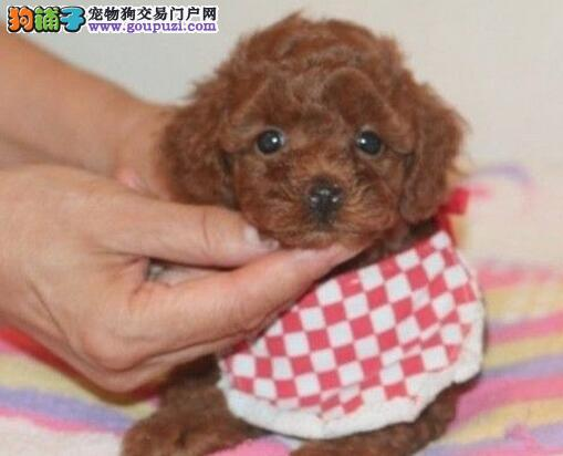 出售纯种玩具茶杯体系的长春贵宾犬 可视频看狗挑选