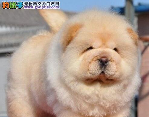 沈阳大型狗场出售胖乎乎的松狮犬 品相好保品质