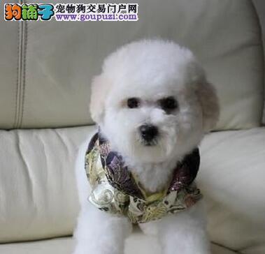 长春正规犬舍繁殖出售卷毛棉花糖版比熊犬 非诚勿扰