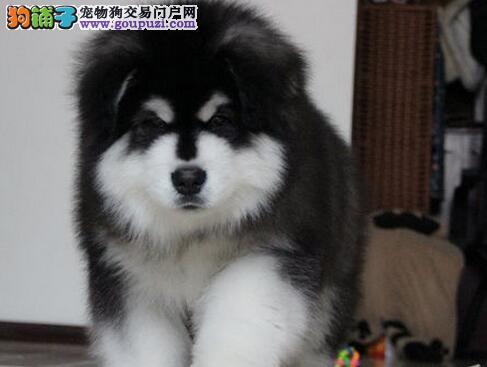 青岛正规狗场热卖双十字阿拉斯加雪橇犬 已做好驱虫