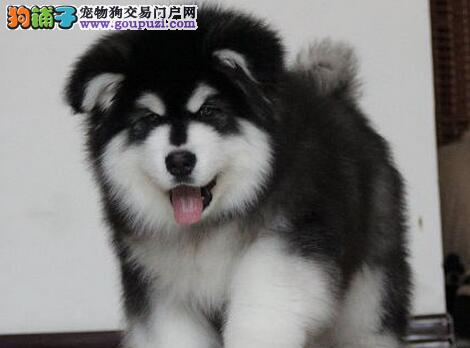 出售帅气英俊的南京阿拉斯加犬 十字脸品相超级棒
