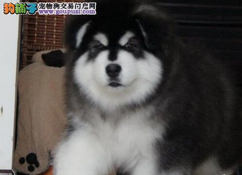 精品双十字阿拉斯加雪橇犬低价出售 昆明地区最低价