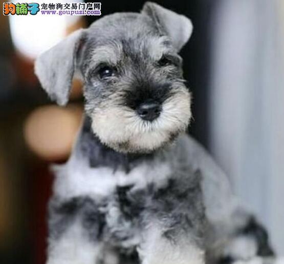 精品雪纳瑞幼犬一对一视频服务买着放心最优秀的售后